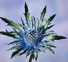 close up of a prickly  blue thistle blossom flower by travel4pictures