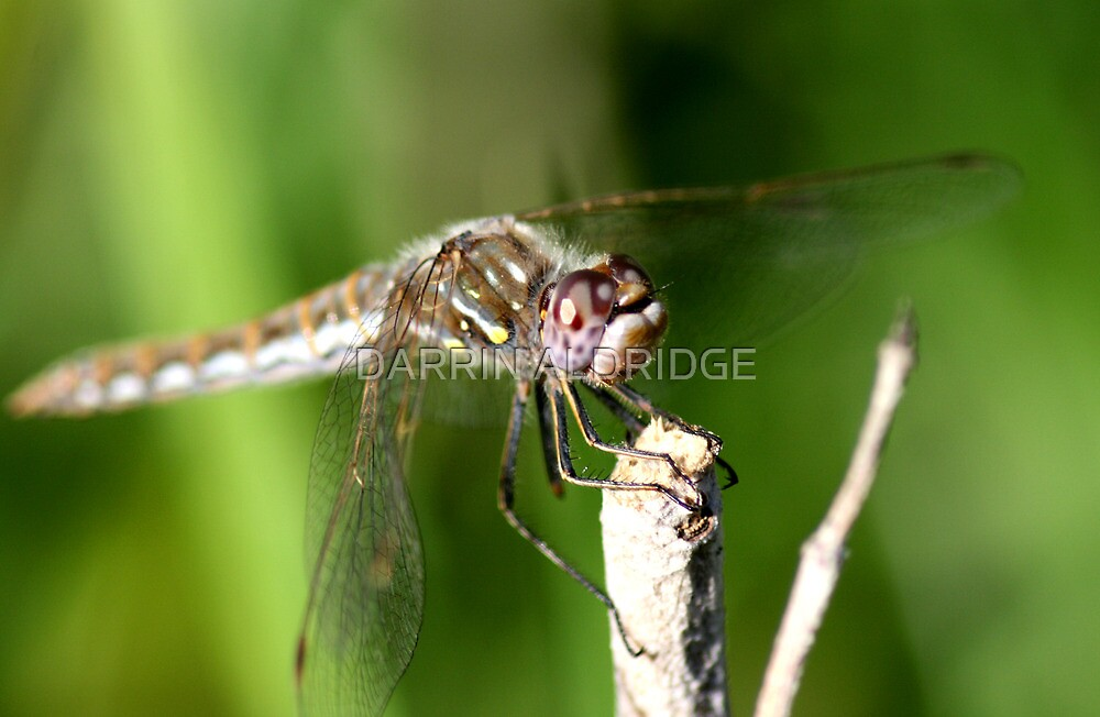Dragonfly Ready for Takeoff by DARRIN ALDRIDGE