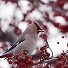 Bohemian Waxwing by lloydsjourney