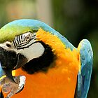 Blue and Yellow Macaw by Micci Shannon