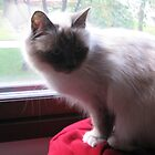 Amanda - Lovely Birman Girl by linderel