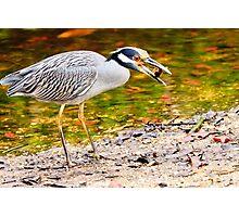 Yellow Crowned Night Heron Photographic Print