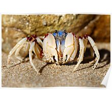 Soldier crab (FAMILY MICTYRIDAE) Poster