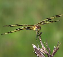 Halloween Pennant Dragonfly front and center. by William Brennan