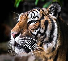 Malayan Tiger by Ben Sharif