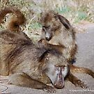 """THE CHACHMA BABOON - Papio ursinus - TOTAL COMMITMEND  - """"IN LOVE"""" by Magriet Meintjes"""