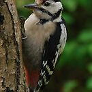 Great spotted woodpecker by Heather Thorsen