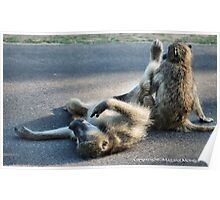 CHACMA BABOON – Papio ursinus - TOTALLY EXHAUSTED ! Poster