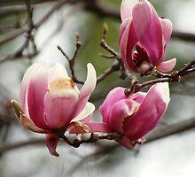 Japanese Magnolia by loiteke