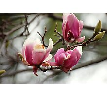 Japanese Magnolia Photographic Print