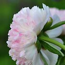 Peony  by Heather Thorsen