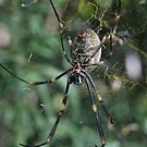 Very Pregnant Spider by Seone Harris-Nair