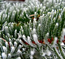 Frosted Evergreen Tree - Wisconsin by kolyssa