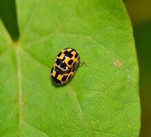 14 Spot Ladybirds Mating by pyettphoto