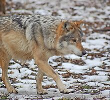 Mexican Wolf by mwfoster