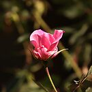 Pink Rose by Jo McGowan