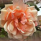 Dusky Rose by naturelover