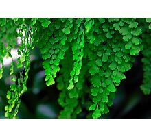 Maiden Hair Fern Photographic Print