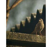 Female House Sparrow Photographic Print