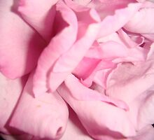 Inside a pink rose by Anne koufos