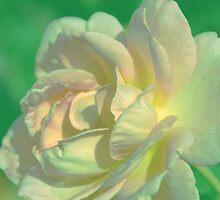White Rose by Susanne Van Hulst