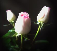 Pink Edged White Roses 6 by Christopher Johnson
