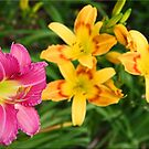 Day Lilies by Chet  King