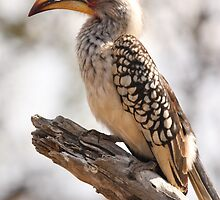 Yellow Billed Hornbill by Jo McGowan