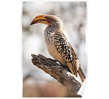 Yellow Billed Hornbill Poster