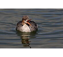 Mrs. Red-breasted Merganser Photographic Print