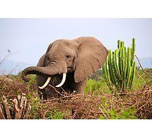 African Elephant - Uganda Photographic Print