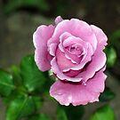 Lavander Rose by Esperanza Gallego
