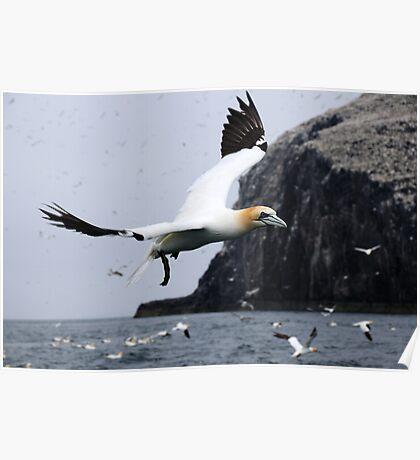 Flying Gannet - Bass Rock, Scotland Poster