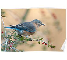 Bluebird in Holly  Poster