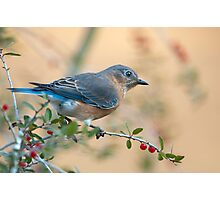 Bluebird in Holly  Photographic Print