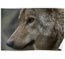 Rescued Timber Wolf 2 Poster