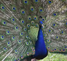 Spectacular Peacock  by Dawn Melka