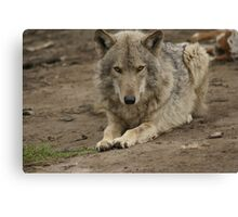 Rescued Timber Wolf 3 Canvas Print