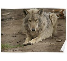 Rescued Timber Wolf 3 Poster