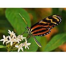 Tiger LongWing Butterfly - Tucson, Arizona Photographic Print