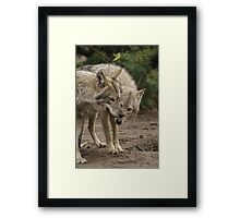 Rescued Timber Wolves 1 Framed Print