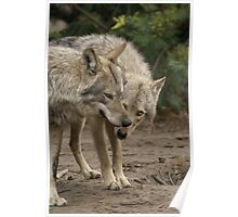Rescued Timber Wolves 1 Poster