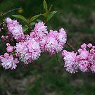 Almond Branch Beauty by kkphoto1