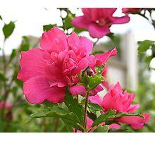 Tree Rose Of Sharon Photographic Print