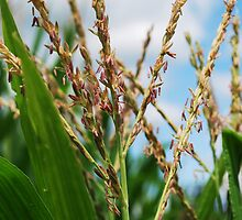 Corn Tassel -Villisca, Ia by Chelsea Herzberg