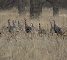 Wild Turkeys by TxGimGim