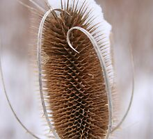 Snowcapped Thistle Seed Head by Laurel Talabere