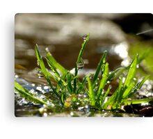 Grass Drops Canvas Print