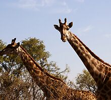 Giraffes by kgb224