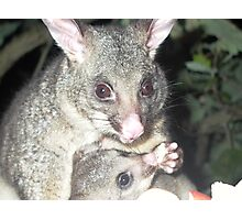 Harley and Spike (Brushtail Possums) Photographic Print
